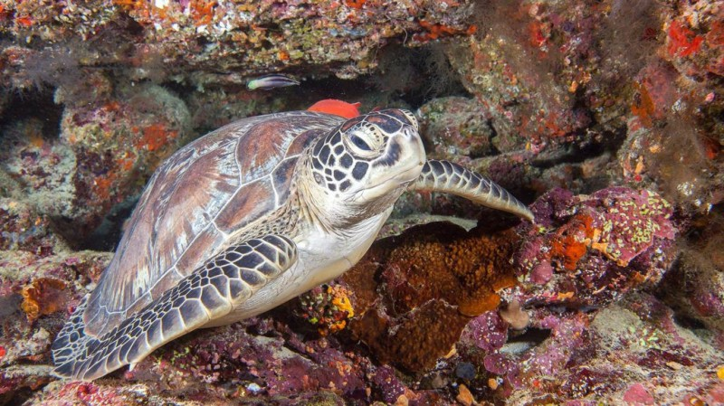 Hurawalhi_Maldives_Green_Turtle-1030x579