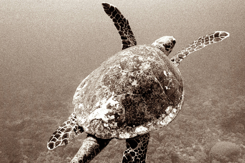 Maalifushi Turtle Hero