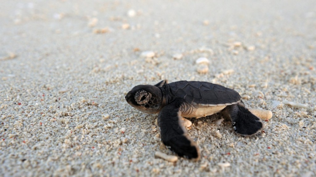 turtle-hatchling-oceans-without-borders-1600x900