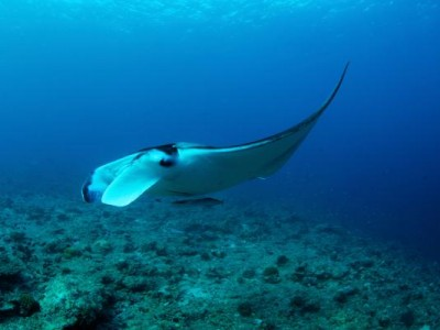 600-27830479-manta-ray-near-coral-reef