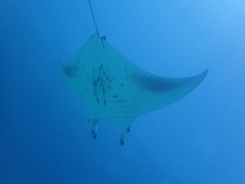 Manta Rays ©Baros Maldives (3)tadaaaa
