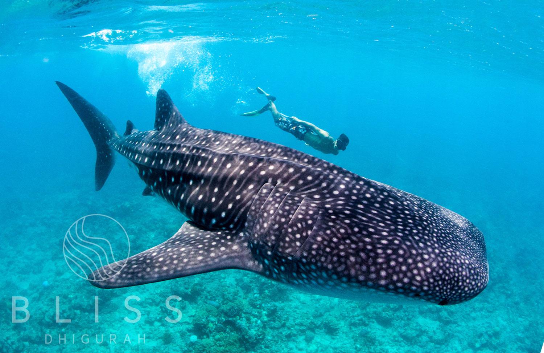 Snorkeling-Whale-shark_Bliss Dhugurah